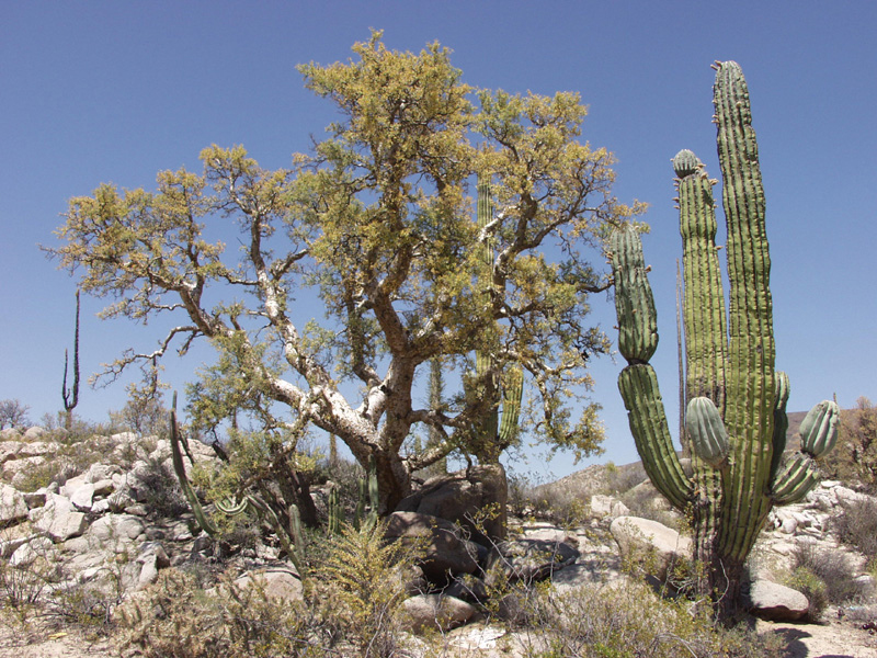 Desert plants also classification of plants also major plants in the desert
