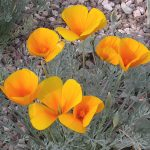 : Desert plants also colorful desert landscape also desert flower landscaping