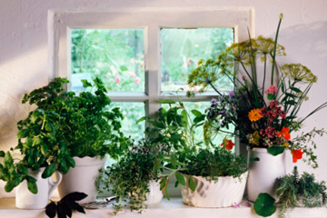 Indoor herb garden plus can you grow herbs inside plus growing herbs in pots indoors plus raised vegetable garden beds
