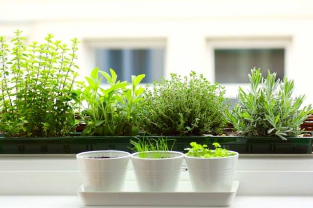 Indoor herb garden plus home herb garden plus growing herbs in pots plus best herbs to grow indoors