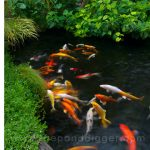 : Koi pond design be equipped fish pond plants be equipped koi pool be equipped garden pond ideas be equipped garden pond waterfall