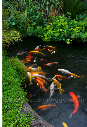Koi pond design be equipped fish pond plants be equipped koi pool be equipped garden pond ideas be equipped garden pond waterfall
