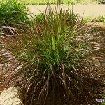 : Landscape grasses plu best ornamental grasses for privacy plu drought tolerant ornamental grasses