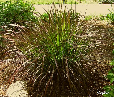 Landscape grasses plu best ornamental grasses for privacy plu drought tolerant ornamental grasses