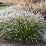 : Landscape grasses plu green ornamental grass plu where to buy fountain grass plu ornamental grass for shaded areas