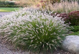 Landscape grasses plu green ornamental grass plu where to buy fountain grass plu ornamental grass for shaded areas