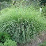 : Landscape grasses plu landscaping bushes plu variegated ornamental grass varieties plu small ornamental grasses for sun