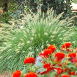 : Landscape grasses plu sea grasses for landscaping plu large decorative grasses plu red ornamental grass zone 5
