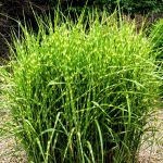: Landscape grasses plu tall grass looking plant plu hardy perennial grasses plu different ornamental grasses