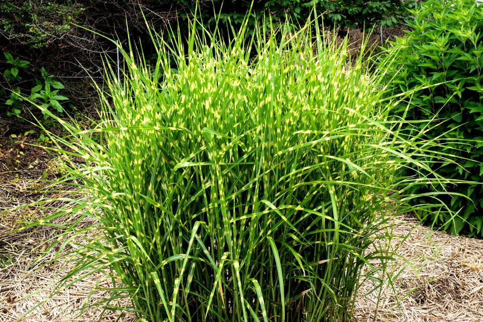 Landscape grasses plu tall grass looking plant plu hardy perennial grasses plu different ornamental grasses