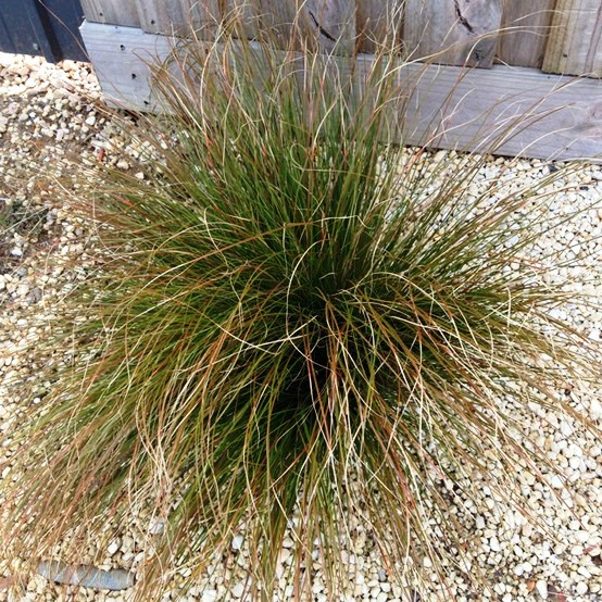 Landscape grasses plus hardy grass plants plus long grasses for sale plus popular ornamental grass