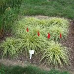 : Landscape grasses plus types of ornamental grass plus where to buy tall grass plus long decorative grass