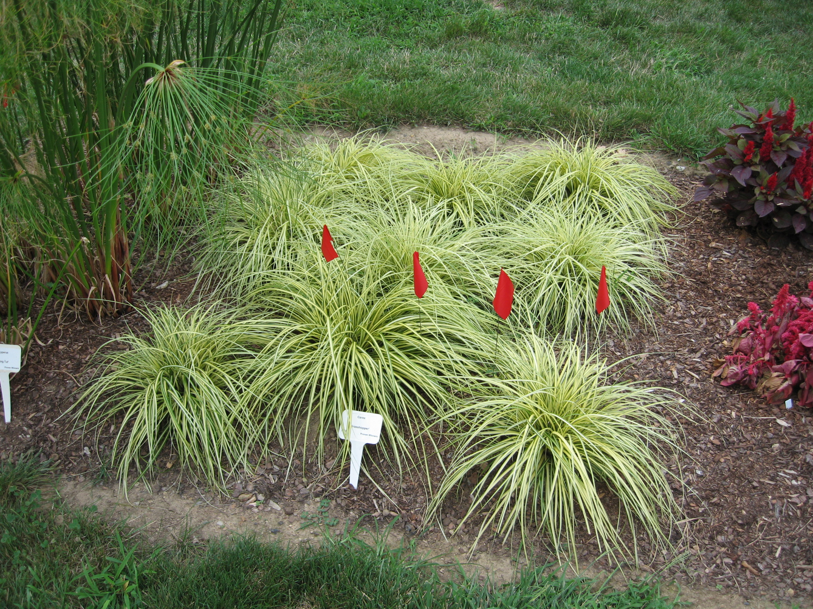 Landscape grasses plus types of ornamental grass plus where to buy tall grass plus long decorative grass