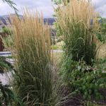 : Landscape grasses you can look perennial grasses you can look tall grass plants you can look tall ornamental grasses