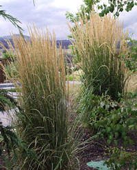 Landscape grasses you can look perennial grasses you can look tall grass plants you can look tall ornamental grasses