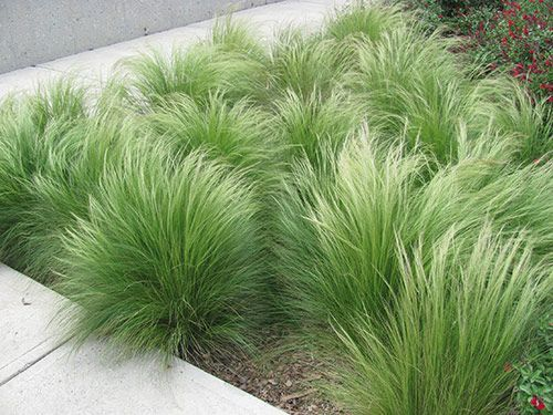 Landscape grasses you can look perennial ornamental grasses you can look ornamental grasses for shade