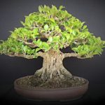 : Bonsai ficus be equipped best bonsai trees be equipped ginseng bonsai be equipped ficus microcarpa bonsai