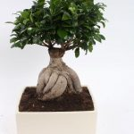 : Bonsai ficus be equipped best fertilizer for ficus be equipped bonsai tree london be equipped ficus tree indoor types
