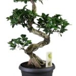 : Bonsai ficus be equipped bonsai banyan tree be equipped bonsai types be equipped indoor ficus be equipped chinese elm bonsai