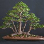 : Bonsai ficus be equipped bonsai ficus benjamina be equipped best indoor bonsai be equipped chinese elm bonsai tree