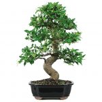 : Bonsai ficus be equipped bonsai fruit tree be equipped ficus bonsai plant be equipped japanese bonsai tree