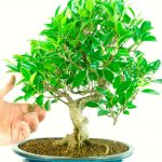 : Bonsai ficus be equipped bonsai wallpaper be equipped ficus microcarpa ginseng plant be equipped about bonsai tree