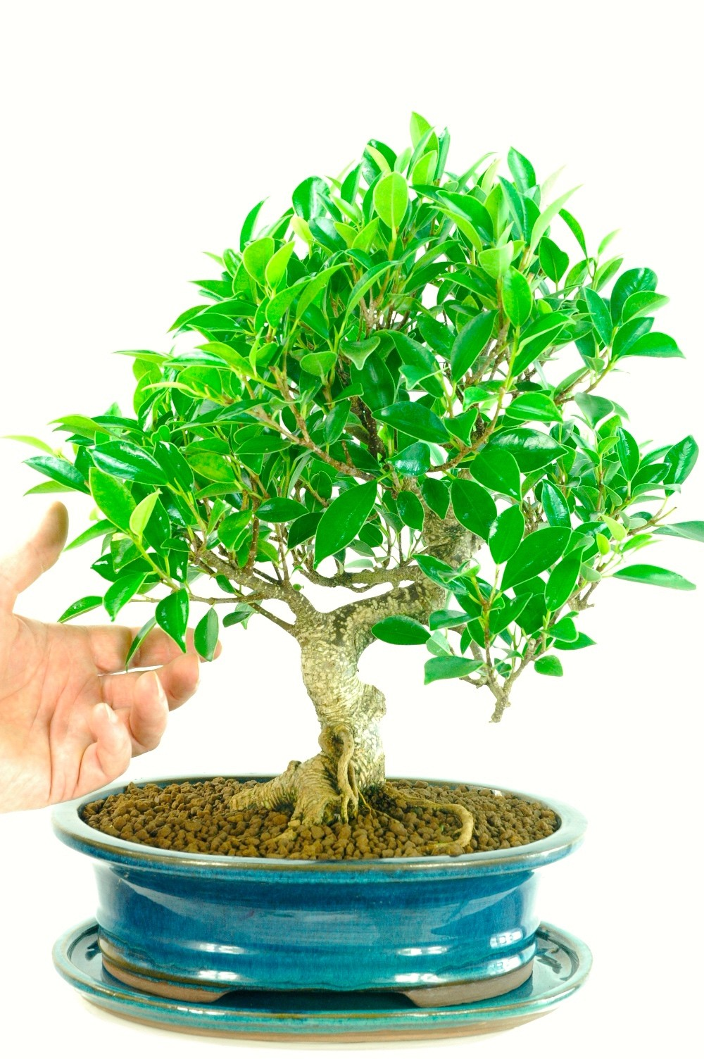 Bonsai ficus be equipped bonsai wallpaper be equipped ficus microcarpa ginseng plant be equipped about bonsai tree