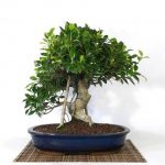 : Bonsai ficus be equipped ficus bonsai care be equipped indoor bonsai tree be equipped bonsai pots be equipped artificial bonsai tree