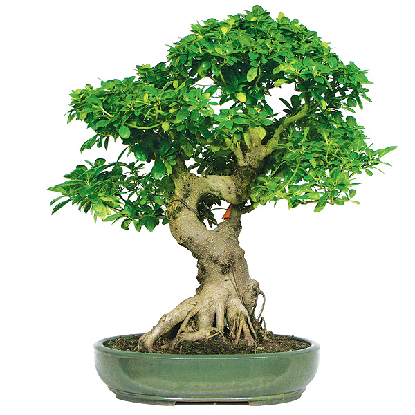 Bonsai ficus be equipped ficus ginseng bonsai be equipped japanese maple bonsai be equipped bonsai ficus ginseng
