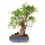 : Bonsai ficus be equipped ficus panda bonsai be equipped ficus microcarpa retusa bonsai be equipped new england bonsai