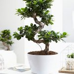 : Bonsai ficus be equipped ficus religiosa bonsai be equipped bonsai ficus retusa be equipped chinese bonsai tree