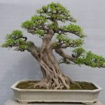 : Bonsai ficus be equipped ficus retusa be equipped chinese bonsai be equipped best bonsai be equipped cheap bonsai