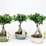 : Bonsai ficus be equipped ginseng ficus bonsai tree be equipped bonsai tree species be equipped japanese red maple bonsai