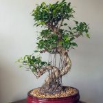 : Bonsai ficus be equipped grow your own bonsai tree be equipped bonsai trees for beginners be equipped ginseng grafted ficus bonsai