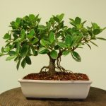 : Bonsai ficus be equipped indoor ficus tree be equipped bonsai for beginners be equipped where can i buy a bonsai tree