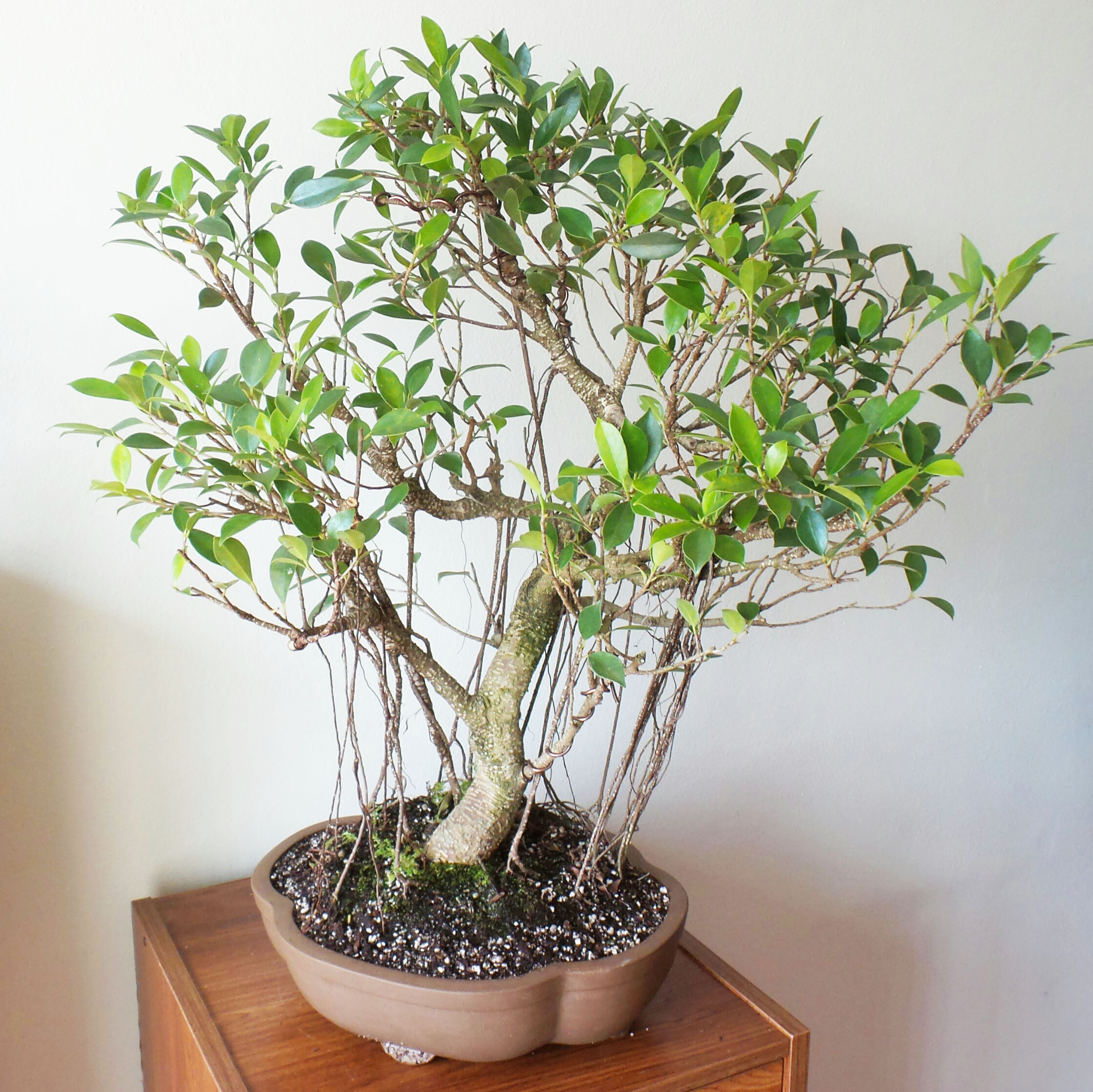 Bonsai ficus be equipped japanese bonsai be equipped best ficus for bonsai be equipped chinese juniper bonsai