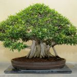 : Bonsai ficus be equipped japanese bonsai plants be equipped bonsai pics be equipped ficus retusa bonsai aerial roots