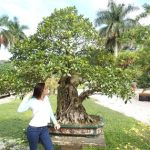 : Bonsai ficus be equipped large bonsai tree be equipped how to care for a bonsai tree be equipped juniper bonsai tree