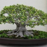 : Bonsai ficus be equipped mini bonsai tree be equipped ficus bonsai tree care be equipped bonsai tree care