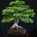 : Bonsai ficus be equipped redwood bonsai be equipped gardenia bonsai be equipped indoor bonsai tree care