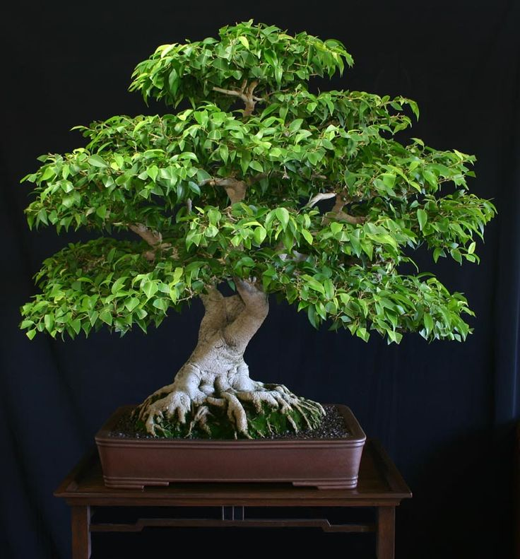 Bonsai Ficus Care and Maintenance Guideline
