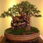 : Bonsai tree you can look bamboo bonsai you can look big bonsai tree you can look japanese black pine bonsai