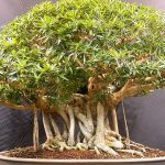 : Bonsai tree you can look bonsai care you can look bonsai tree pots you can look money tree bonsai