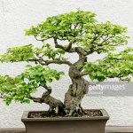 : Bonsai tree you can look bonsai plants online purchase you can look fast growing trees you can look original bonsai tree