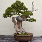 : Bonsai tree you can look bonsai tree locally you can look arborvitae tree you can look japanese miniature trees