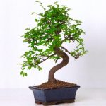 : Bonsai tree you can look different types of bonsai trees you can look send bonsai tree