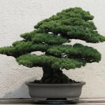 Bonsai Tree Care: Simple Steps of Well Growth of Bonsai