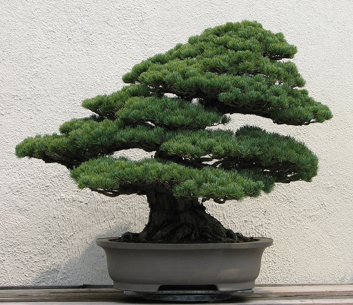 Bonsai tree you can look fast growing trees you can look original bonsai tree you can look bonsai garden