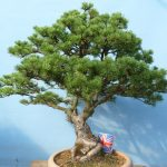 : Bonsai tree you can look flowering bonsai trees for sale you can look fig trees for sale you can look bonsai starter trees