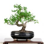 : Bonsai tree you can look indoor bonsai tree you can look ficus bonsai you can look juniper bonsai